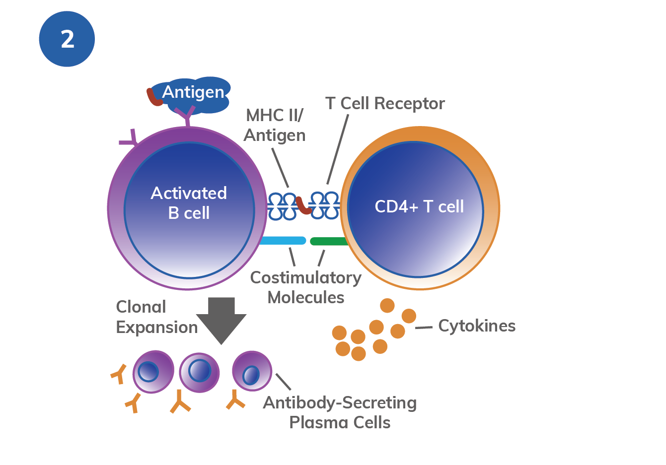 T cell activation mechanism