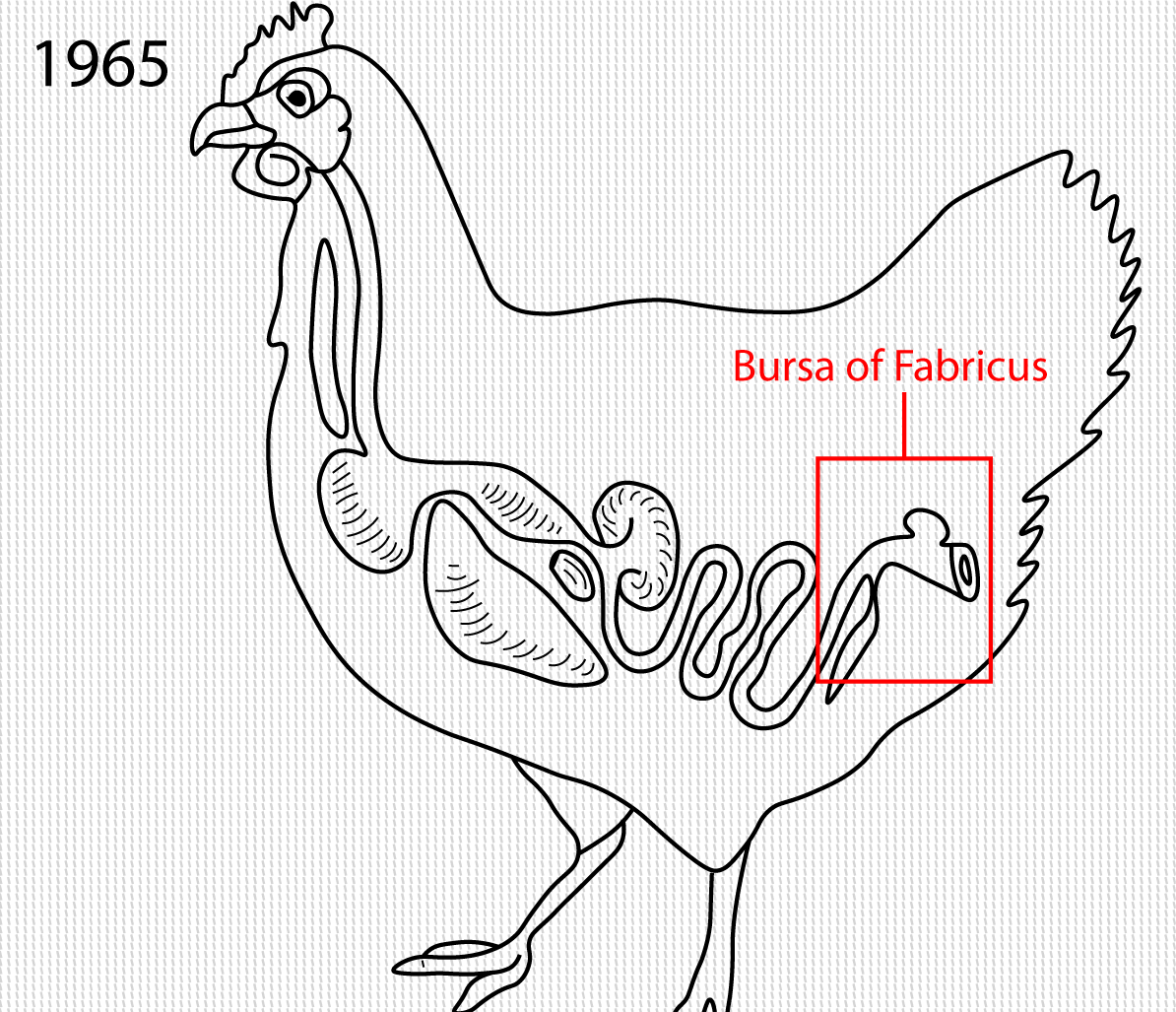 Bursa of Fabricus